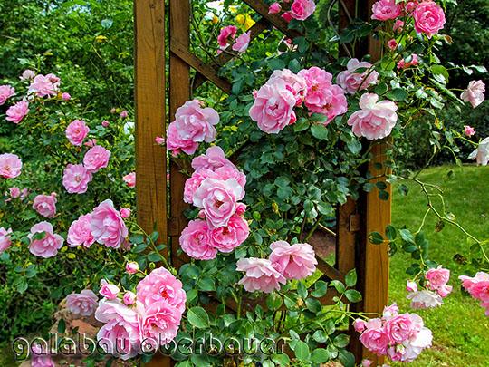 Gartentipps Rosen